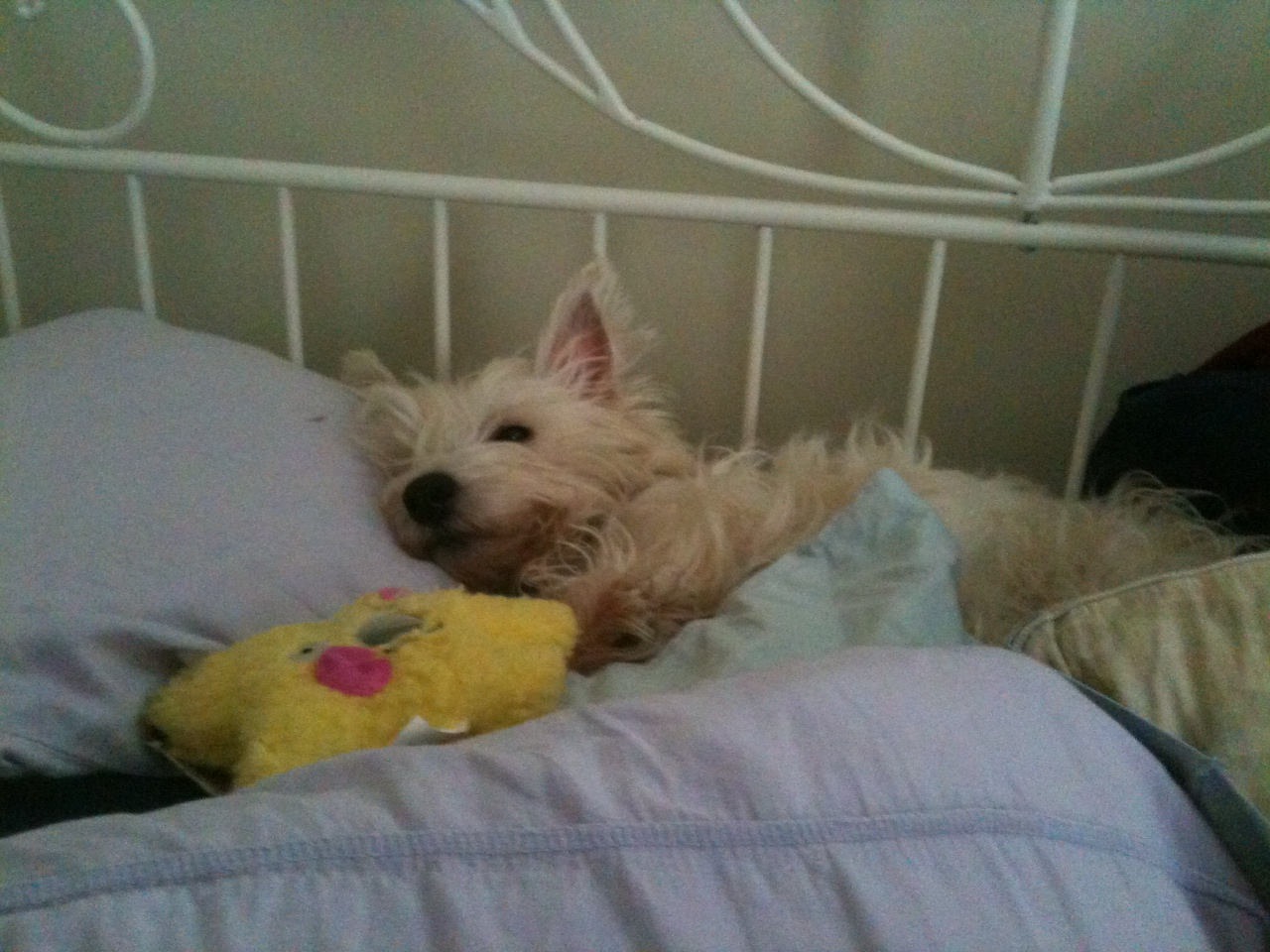 Alice the Westie. Photo by the author.