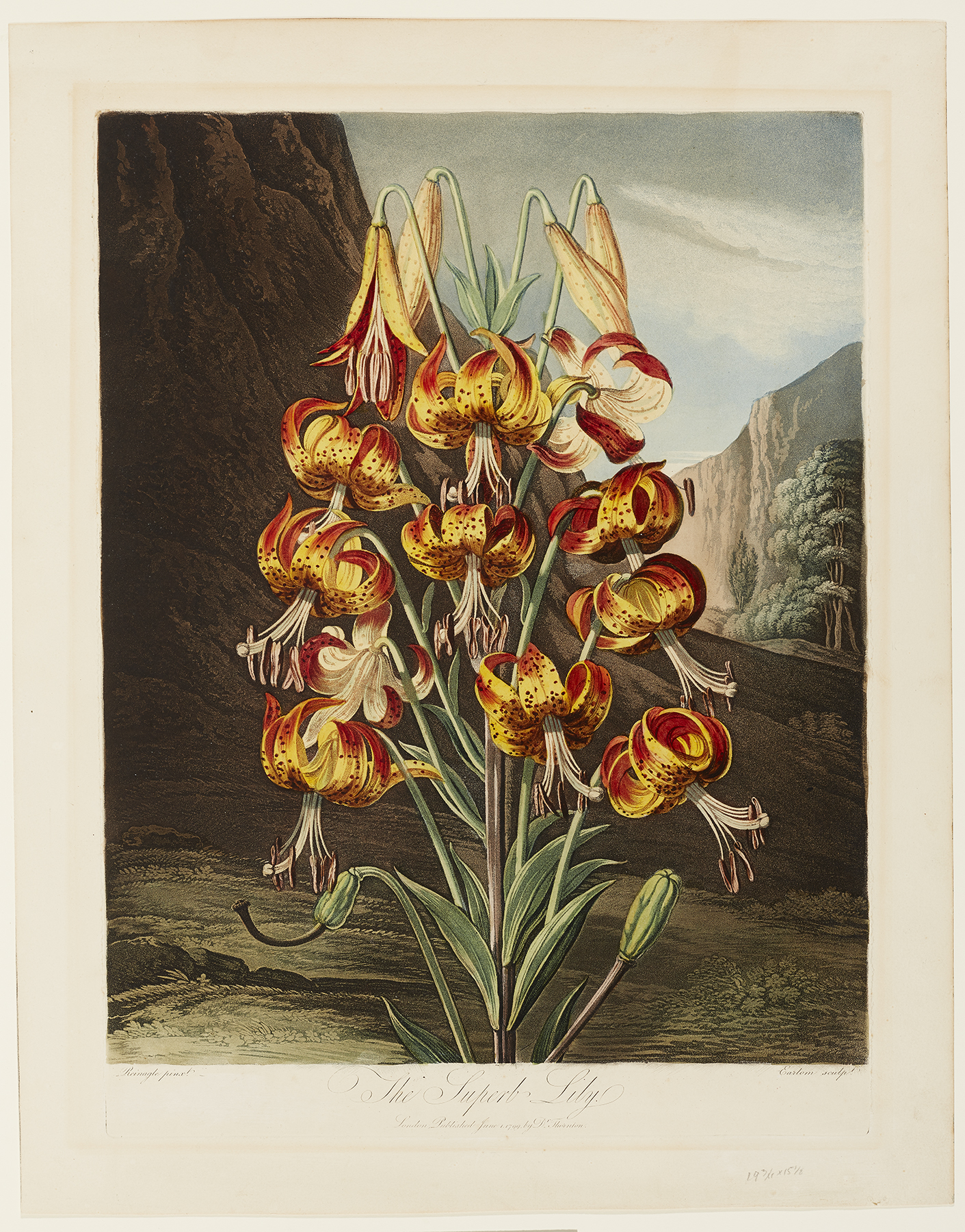 Richard Earlom (English, 1743–1822), after Philip Reinagle (English, 1749–1833), The Superb Lily, published June 1, 1799. Color aquatint, etching, stipple, and mezzotint with hand coloring, varnished. Milwaukee Art Museum, Gift of Mr. and Mrs. William F. Pabst Jr. and Mr. and Mrs. Harry Starr III in memory of Mrs. Carl Eberbach M1973.100. Photog credit: John R. Glembin.