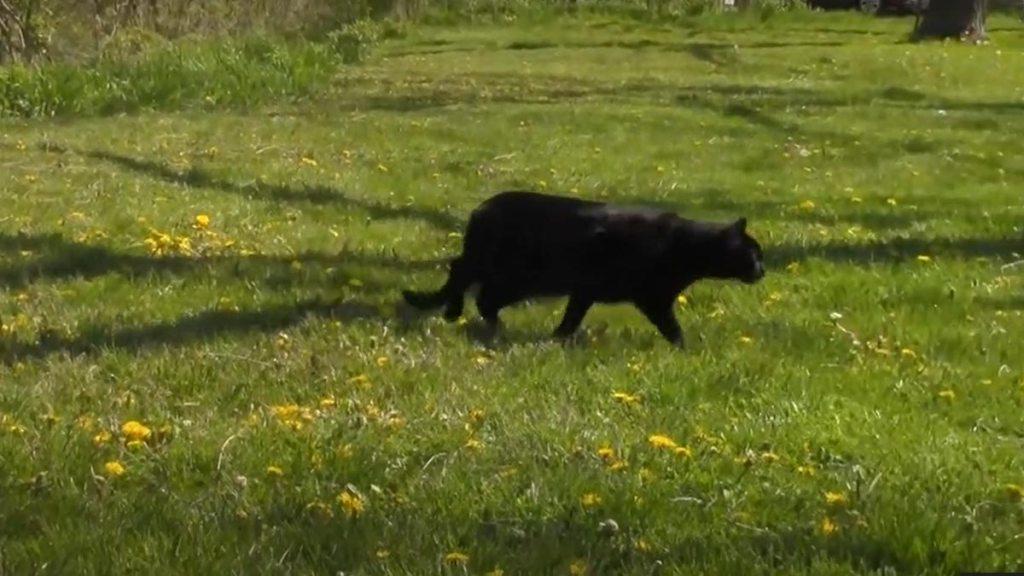 Black cat walking across the lawn